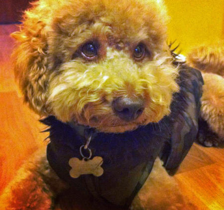 Jasper the Toy Poodle Pictures 965726