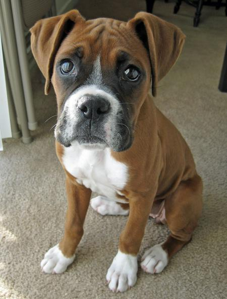 Java the Boxer Pictures 669504