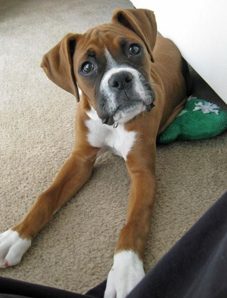 Java the Boxer Pictures 669507