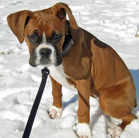 Java the Boxer Pictures 669508
