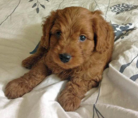 Java the Goldendoodle Pictures 974998