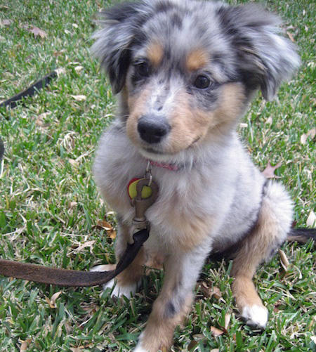 Jayde the Australian Shepherd Mix Pictures 729112