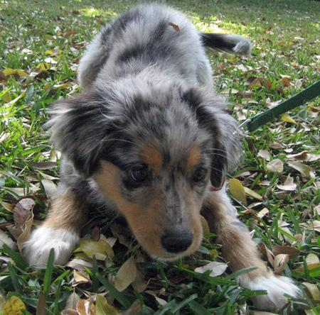 Jayde the Australian Shepherd Mix Pictures 729114