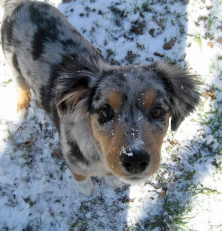 Jayde the Australian Shepherd Mix Pictures 729109