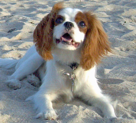 JayDee the Cavalier King Charles Spaniel Pictures 825807