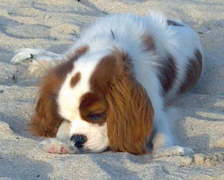 JayDee the Cavalier King Charles Spaniel Pictures 825809