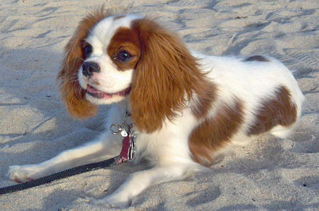 JayDee the Cavalier King Charles Spaniel Pictures 825810