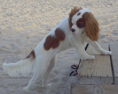 JayDee the Cavalier King Charles Spaniel Pictures 825805