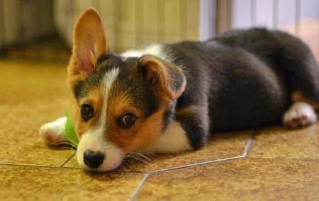 Jedi the Pembroke Welsh Corgi Pictures 954163