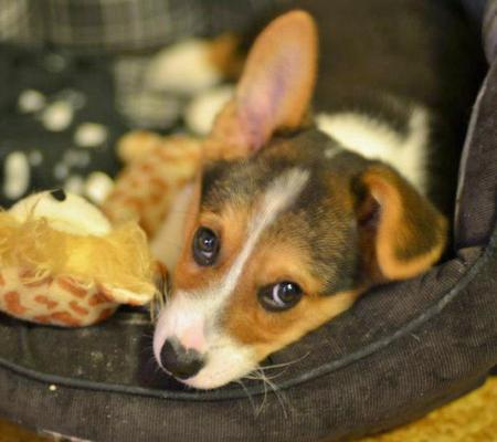 Jedi the Pembroke Welsh Corgi Pictures 954160