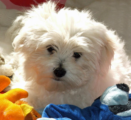 Jemma the Maltese Mix Pictures 821684