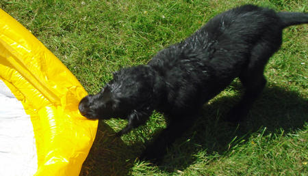 Jess the Flat Coated Retriever Pictures 900614