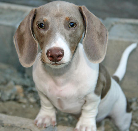 Jesse James the Dachshund Pictures 644379