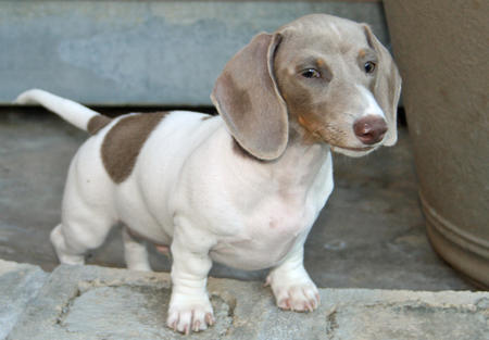 Jesse James the Dachshund Pictures 644380