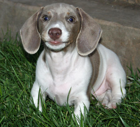 Jesse James the Dachshund Pictures 644375
