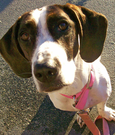 Jessie the Basset Hound Mix Pictures 745878