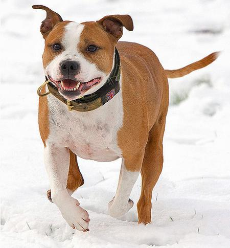 Jester the Staffordshire Bull Terrier Pictures 694296
