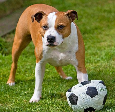 Jester the Staffordshire Bull Terrier Pictures 694300