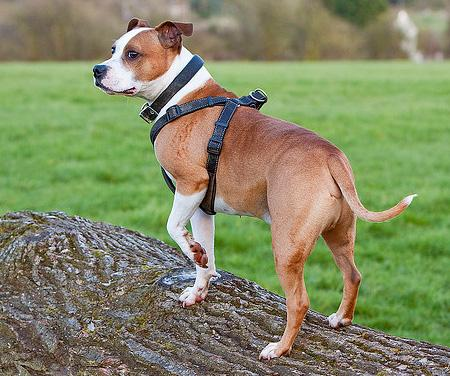 Jester the Staffordshire Bull Terrier Pictures 694304