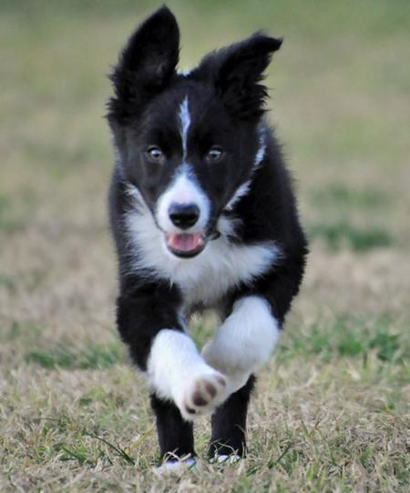 Jetson the Border Collie Pictures 711705