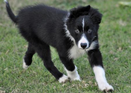 Jetson the Border Collie Pictures 711706
