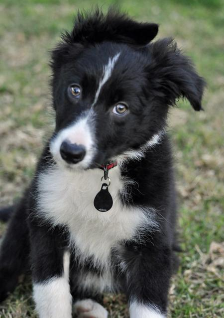 Jetson the Border Collie Pictures 711708