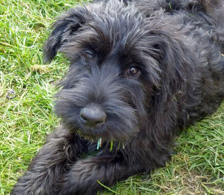 Jett the Giant Schnauzer Pictures 1057713