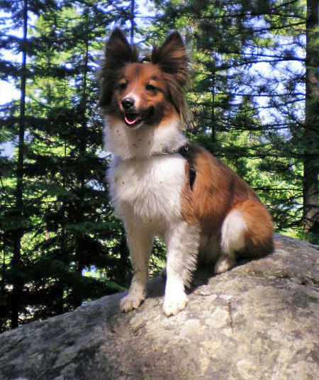 Jibber the Papillon Mix Pictures 899117