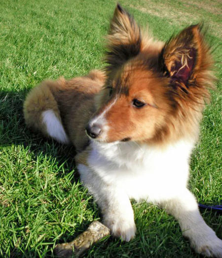 Jibber the Papillon Mix Pictures 899118