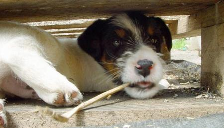 Jimmie the Jack Russell Terrier Pictures 747196