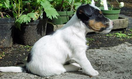 Jimmie the Jack Russell Terrier Pictures 747197