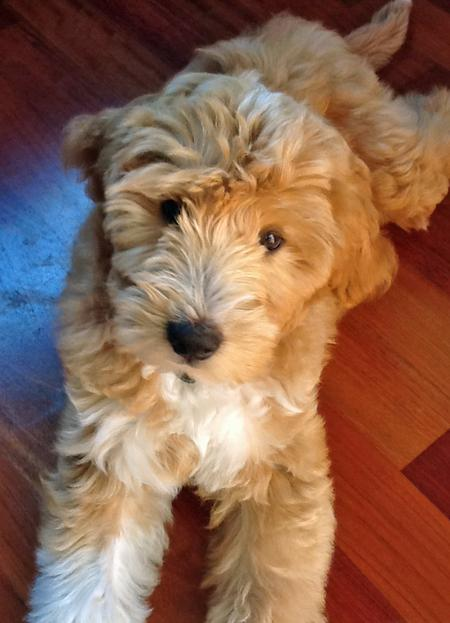 Joey the Labradoodle Pictures 975349