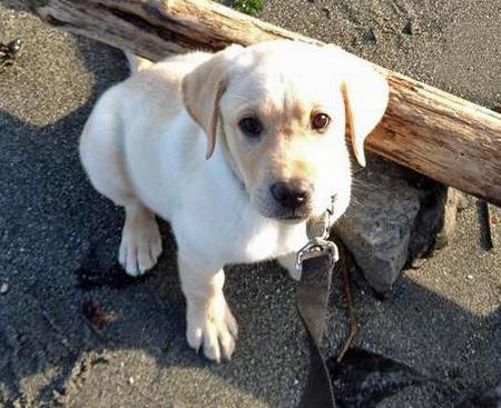 Joey the Labrador Retriever Pictures 1058592