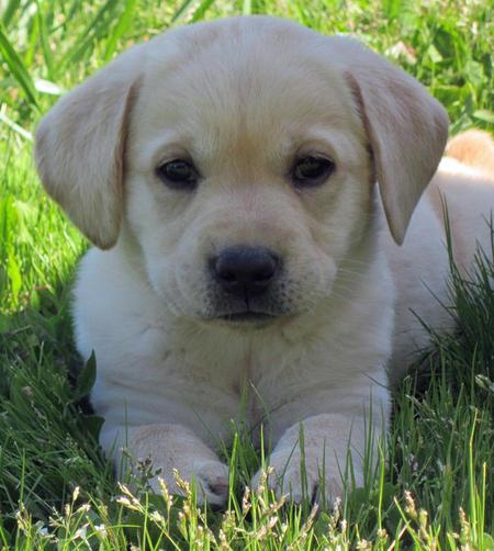Joey the Labrador Retriever Pictures 1058596