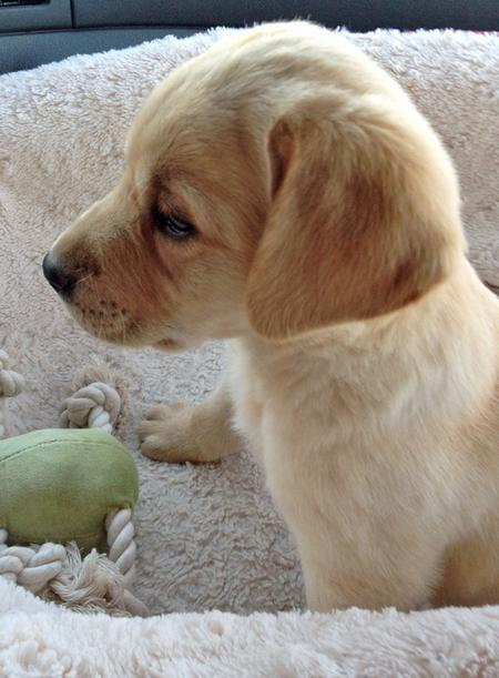 Joey the Labrador Retriever Pictures 1058589