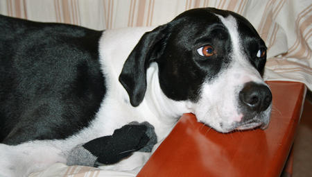 Jones the Pointer Mix Pictures 563040