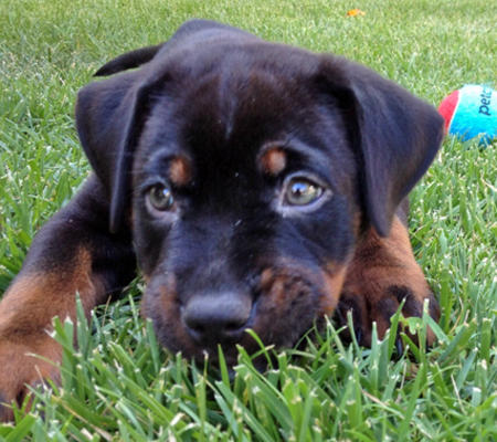 Jorge the Rottweiler Mix | Puppies | Daily Puppy