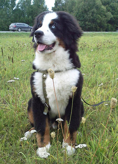 Josefe the Bernese Mountain Dog Pictures 1002493