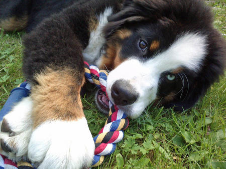 Josefe the Bernese Mountain Dog Pictures 1002494