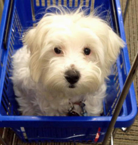 Jovi the Maltese Mix Pictures 954716