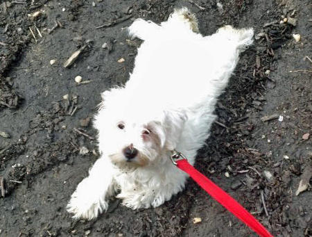 Jovi the Maltese Mix Pictures 954717