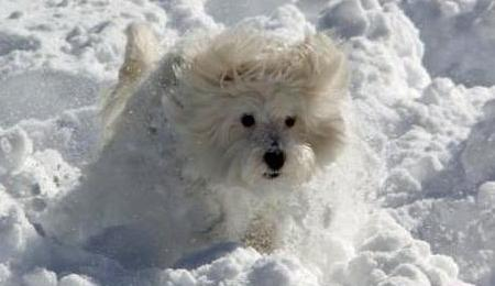 Jovi the Maltese Mix Pictures 954719
