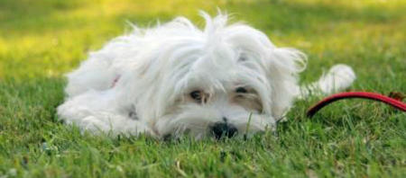 Jovi the Maltese Mix Pictures 954720