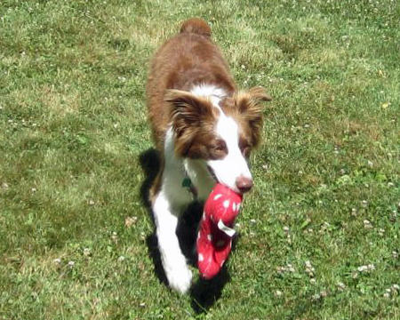 Joy the Border Collie Pictures 1042211