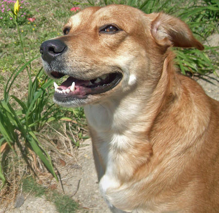 June the Labrador Retriever Mix Pictures 450272