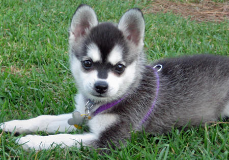 Juneau the Alaskan Klee Kai Pictures 1023707