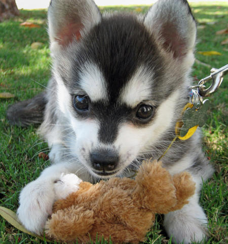 Juneau the Alaskan Klee Kai Pictures 1023709