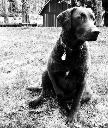 Juneau the Chesapeake Bay Retriever Pictures 690821