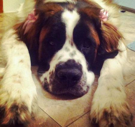 Juniper the Saint Bernard Pictures 1014785