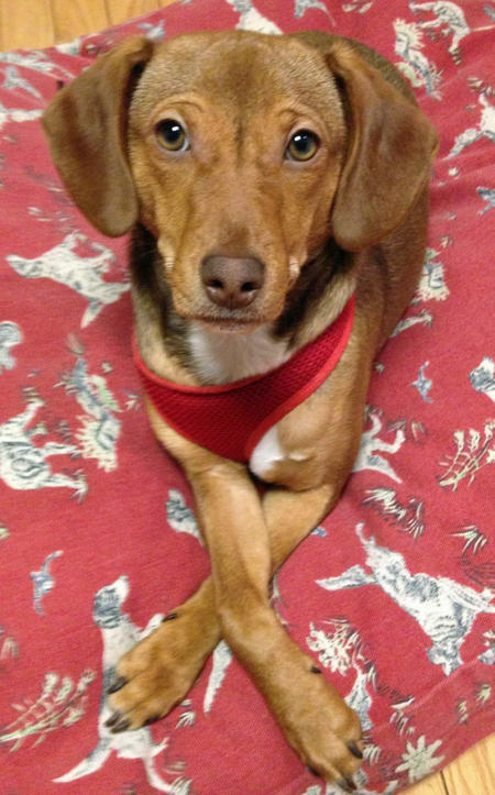 Juno the Dachshund Mix Pictures 975392